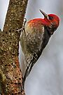 RED-BREASTED SAPSUCKER by Sandy Stewart