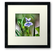 --Sweet Blue Violet in Tall Meadow Grass Framed Print