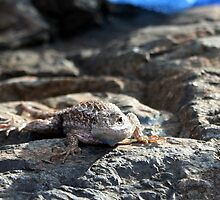 Blue belly fence lizard by SKNickel