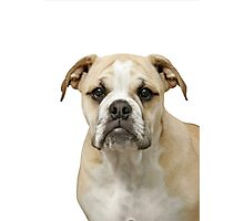 Portrait of an English Bulldog Photographic Print