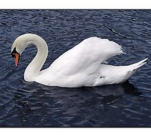 Swan - (Hartham) by MoGeoPhoto