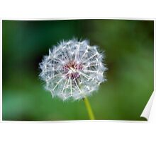Dandelion clock Poster