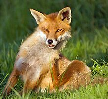 Fox by mrshutterbug