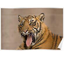 Sumatran Tiger Cub Poster