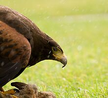 Harris Hawk with Rabbit Kill by mrshutterbug