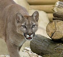 Mountain Lion, Puma, Cougar by mrshutterbug
