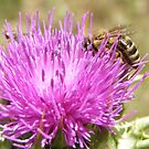 Bee on Scotch Thistle. by Rita Blom