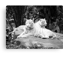 Two  White Siberian Tigers  Canvas Print