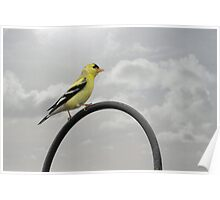 Yellow Finch - A bright spot of color Poster