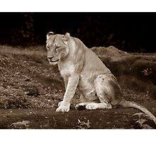 A Lioness Rests Just For A while  Photographic Print