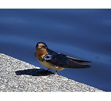 Barn Swallow with some nest materials. Photographic Print