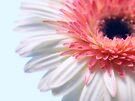 Blossom by the-novice