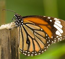 Monarch Butterfly by thousandsmile