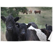 Belted galloway in the padock Poster
