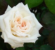White Rose With Natural Garden Background by taiche