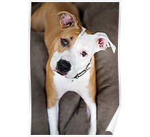Asha the American Staffordshire Terrier Poster