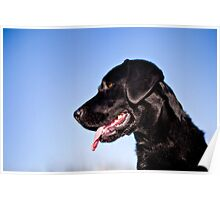 Dallas the Labrador Retriever Poster