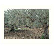 Olive Trees In All Their Starkness Art Print
