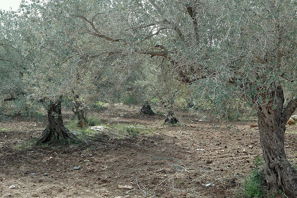 Olive Trees In All Their Starkness by Michael Redbourn