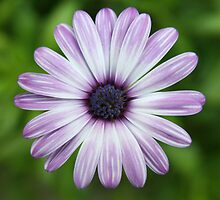 Spanish Daisy by Beninmanc