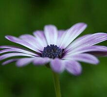 Spanish Daisy from the side by Beninmanc