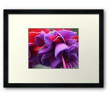 Pink & Purple Fuchsia Flower closeup Framed Print
