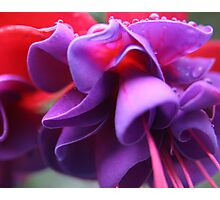 Pink & Purple Fuchsia Flower closeup Photographic Print