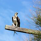 Osprey with his Catch by byronbackyard
