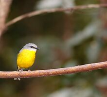 Eastern Yellow Robin by David de Groot