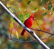 Northern Cardinal by Irvin Le Blanc