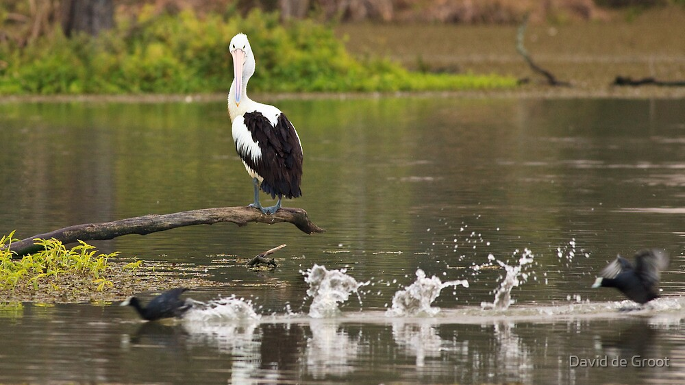 Pelican watching the passing parade by David de Groot