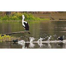 Pelican watching the passing parade Photographic Print