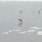 Pipeing Plovers  by Naylor