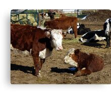 Hereford cows Canvas Print
