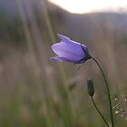 Scottish Harebell by Pamela Baker