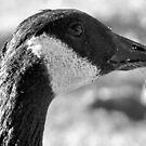 Canada Goose by eliz134