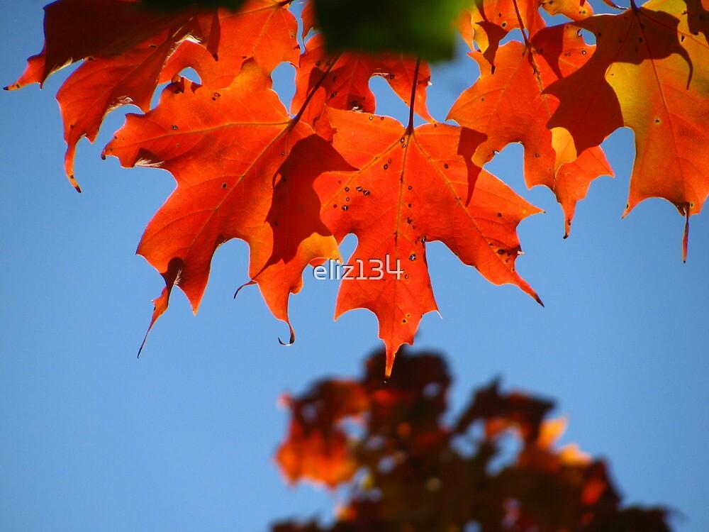 Maple Leaf by eliz134