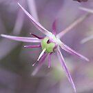 Allium - Sissinghurst Garden, Kent UK by DJ-Stotty