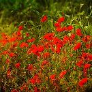 Poppies by Kelvin Hughes