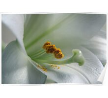 White Lily with dropped pollen Poster