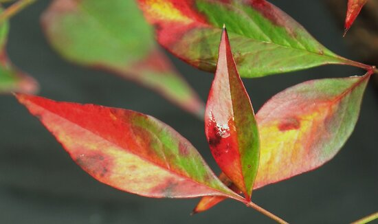 nandina leaves beauty by ANNABEL   S. ALENTON