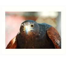 Harris Hawk - Brookfield Zoo, Chicago Art Print