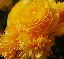 Yellow Sunshine - Chicago Botanic Gardens by DianeBUhlman