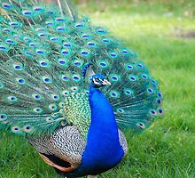 Proud Peacock by stewarty