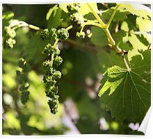 Grape Beginnings Poster