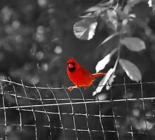 Bird on a Wire - Cardinal @ Brookfield Zoo, Chicago by DianeBUhlman