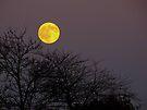 Harvest Moon by Veronica Schultz