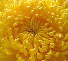 Dahlia (magnoliophyta asteraceae) by robertpatrick