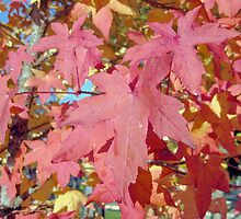 Red Maple Autumn Leaves by robertpatrick