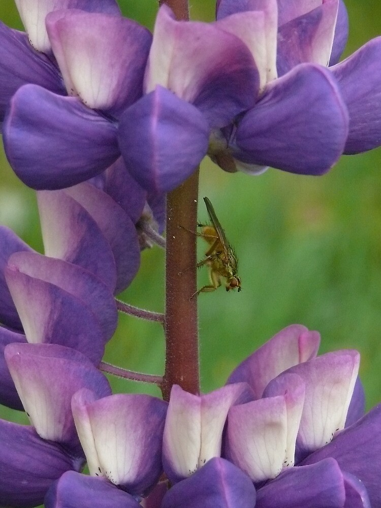 Fly on a lupin  by Pamela Baker